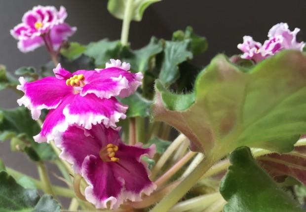 Pink African Violets